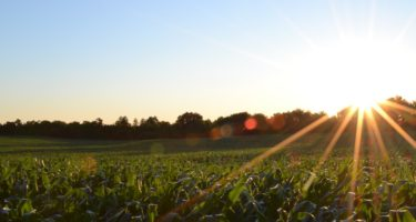 Points to Consider for Growing a Successful Crop of Forage Maize