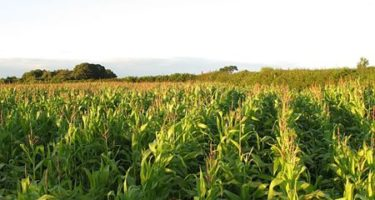 Maize Harvesting – When is the Right Time?
